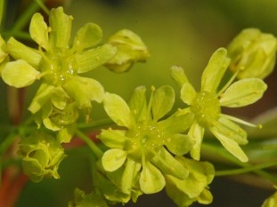Noorse esdoorn- Acer platanoides
