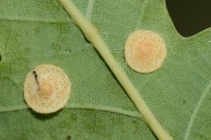 Lensgal op Zomereik Lensgalwesp - Neuroterus quercusbaccarum